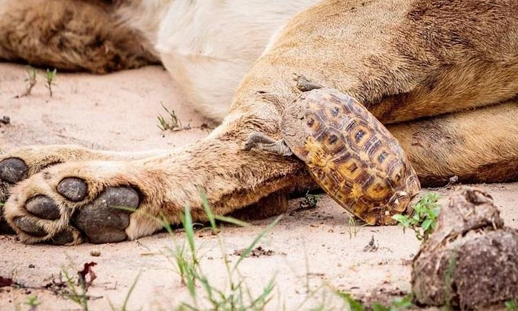Nó ngã chúi mặt xuống cát khi sắp thoát khỏi nguy hiểm. Ảnh: Caters.