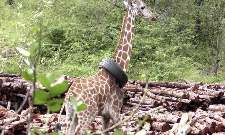 Con hươu cao cổ phải đeo lốp xe suốt thời gian dài. Ảnh: Caters.