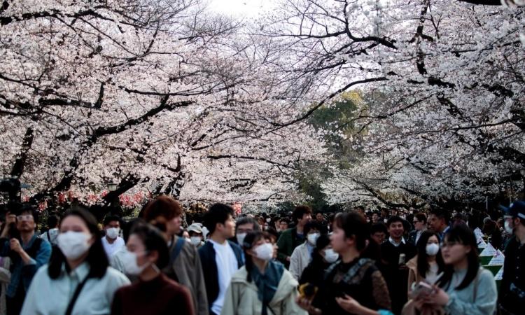 Người dân Nhật Bản, trong đó có nhiều người không đeo khẩu trang, tập trung ngắm hoa anh đào nở tạicông viên Ueno ở Tokyo hôm 22/3. Ảnh: AFP.