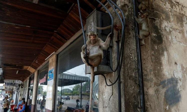 Bầy khỉ bám vào dây cáp gần đền thờPrang Sam Yod ở Lopburi, Thái Lan. Ảnh: Guardian.