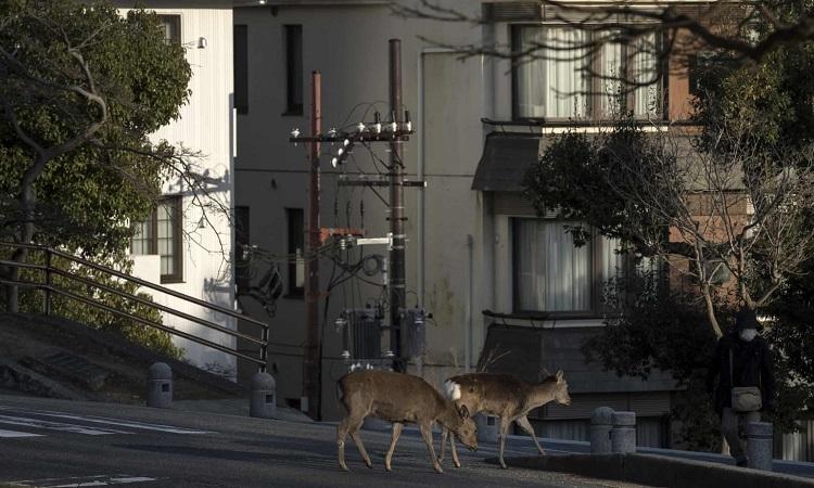 Hươu Sika đi sang đường ở Nara, Nhật Bản. Ảnh: Guardian.