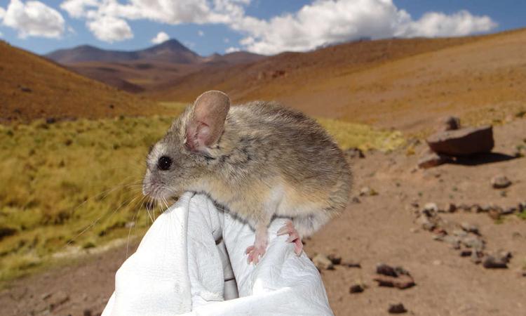 ChuộtPhyllotis xanthopygus bám trên găng tay của nhà khoa học. Ảnh:Marcial Quiroga-Carmona.