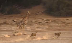 5 con sư tử trẻ truy bắt hươu cao cổ