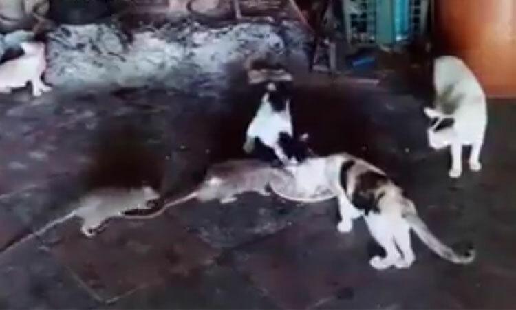 Chuột ngang nhiên dùng bữa cùng mèo