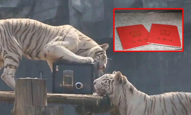 Sở thú mở dịch vụ giữ giấy đang ký kết hôn trong chuồng hổ