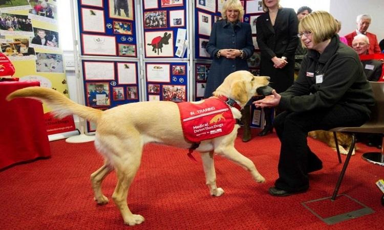 Chó y tế của tổ chức Medical Detection Dogs (MDD) ở Great Horwood, phía bắc London. Ảnh: AFP.