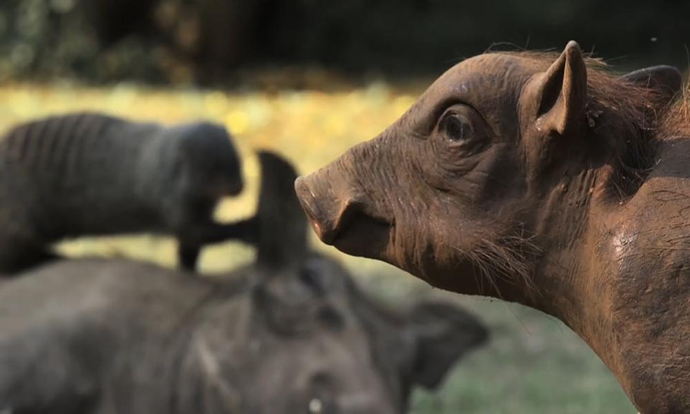 Camera ẩn đánh lừa đàn lợn bướu và cầy mangut