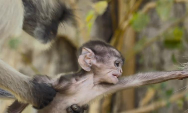 Khỉ cái giằng con từ tay đồng loại để tập nuôi