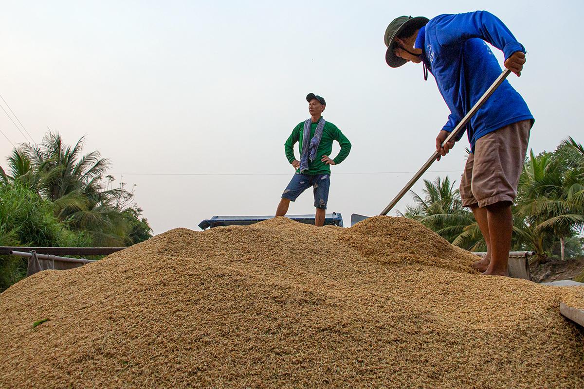 Nông dân xã Thạnh An, huyện Vĩnh Thạnh, TP Cần Thơ thu hoạch lúa vụ đông xuân đầu tháng 3. Ảnh: Thanh Trần
