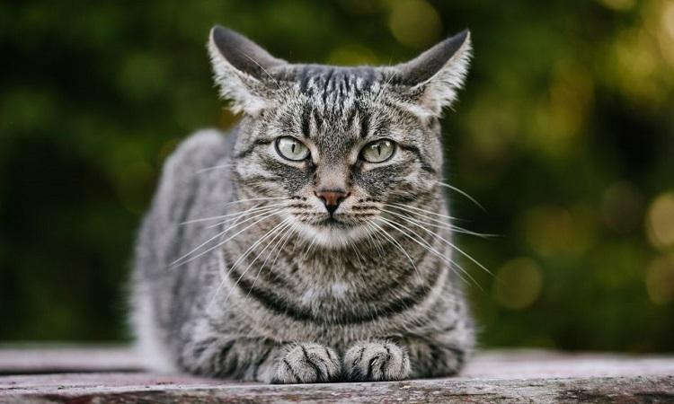 Mèo lây Covid-19 từ chủ
