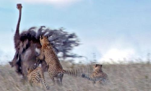 Đà điểu đực trơ mắt nhìn báo săn truy sát bạn tình