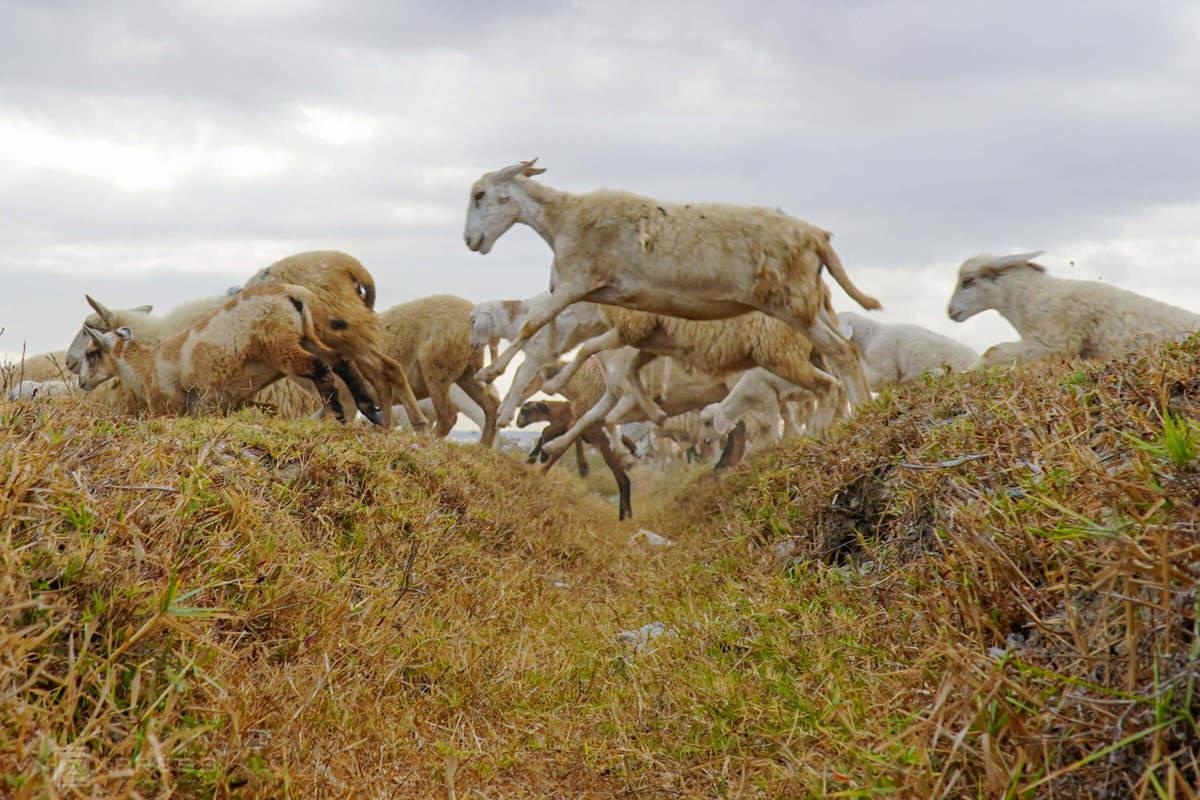 Chăn cừu mùa hạn