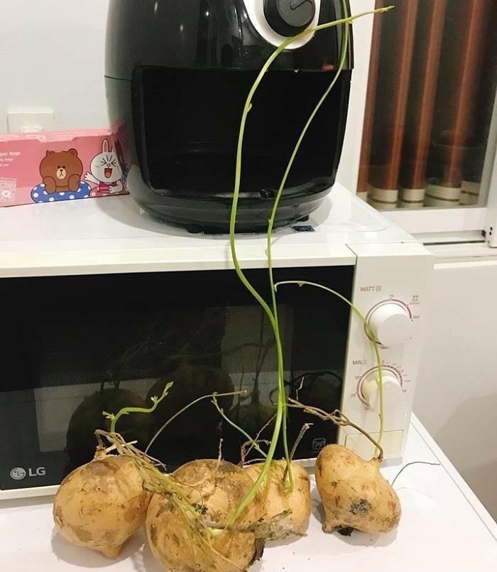Cây củ đậu hay củ sắn bắt đầu nảy mầm.