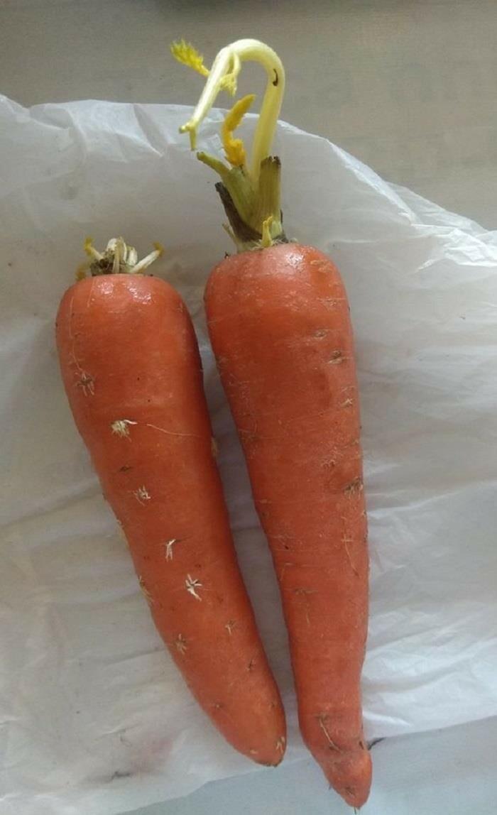 Cà rốt cũng không chịu kém cạnh.