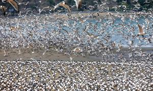 Chim đậu kín bãi biển khi Covid-19 bùng phát