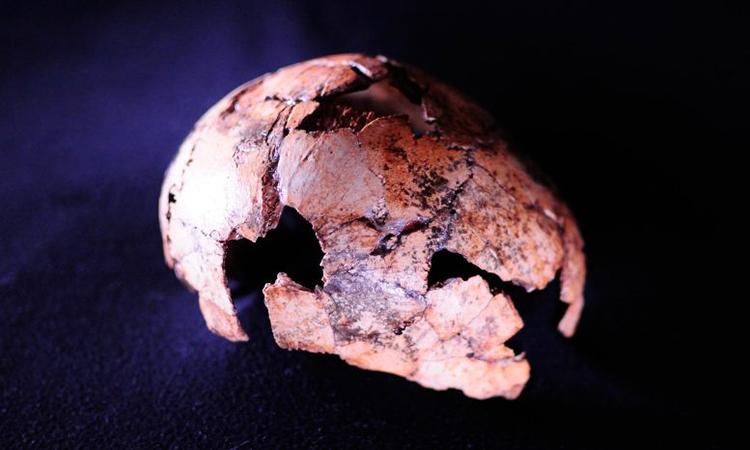 Hộp sọHomo erectus được khai quật tại Nam Phi. Ảnh:Scitech Daily.