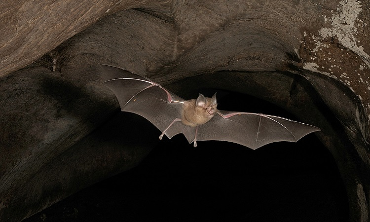 nCoV được cho là có nguồn gốc từ loài dơi. Ảnh: National Geographic.