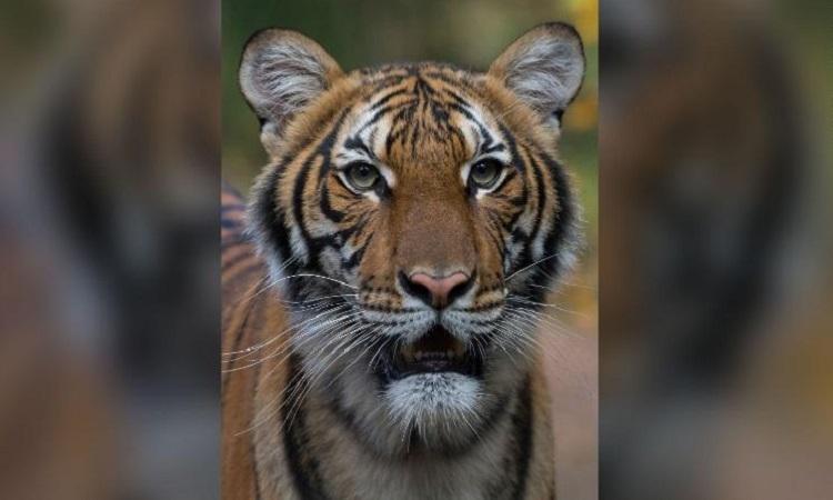 Hổ Nadia được cho là lây virus từ nhân viên vườn thú. Ảnh: CNN.