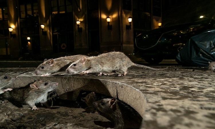 Nguy cơ khi chuột hoành hành khắp chốn trong mùa dịch