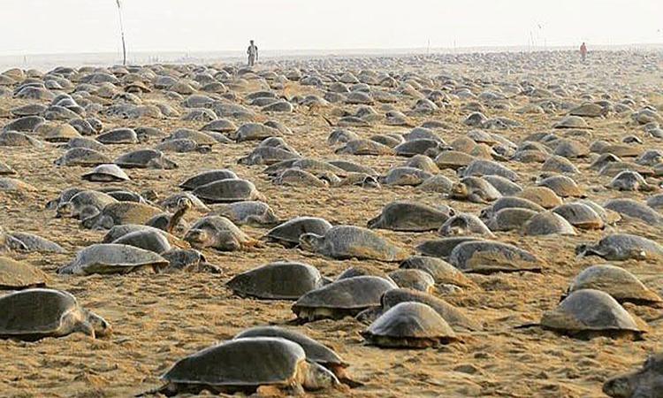 Gần nửa triệu rùa biển bò lên bãi biểnRushikulya để đẻ trứng. Ảnh:Bipro Seas.