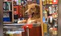 Chó cưng đứng trông cửa hàng cho chủ