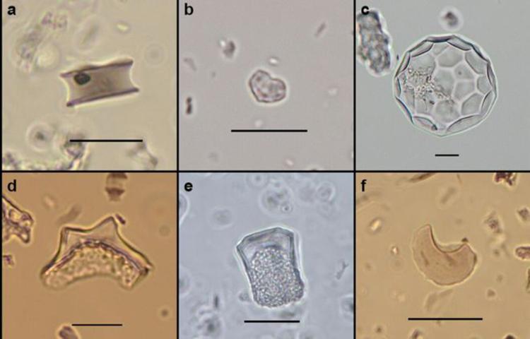 Các phytolith được tìm thấy trên đảo rừng. Ảnh: BBC.