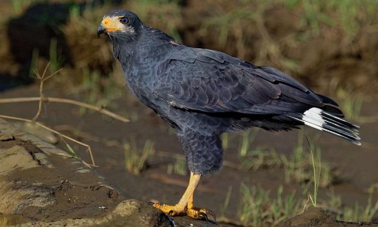 Con chim ưng đen cái sống ở California. Ảnh: IFL Science.