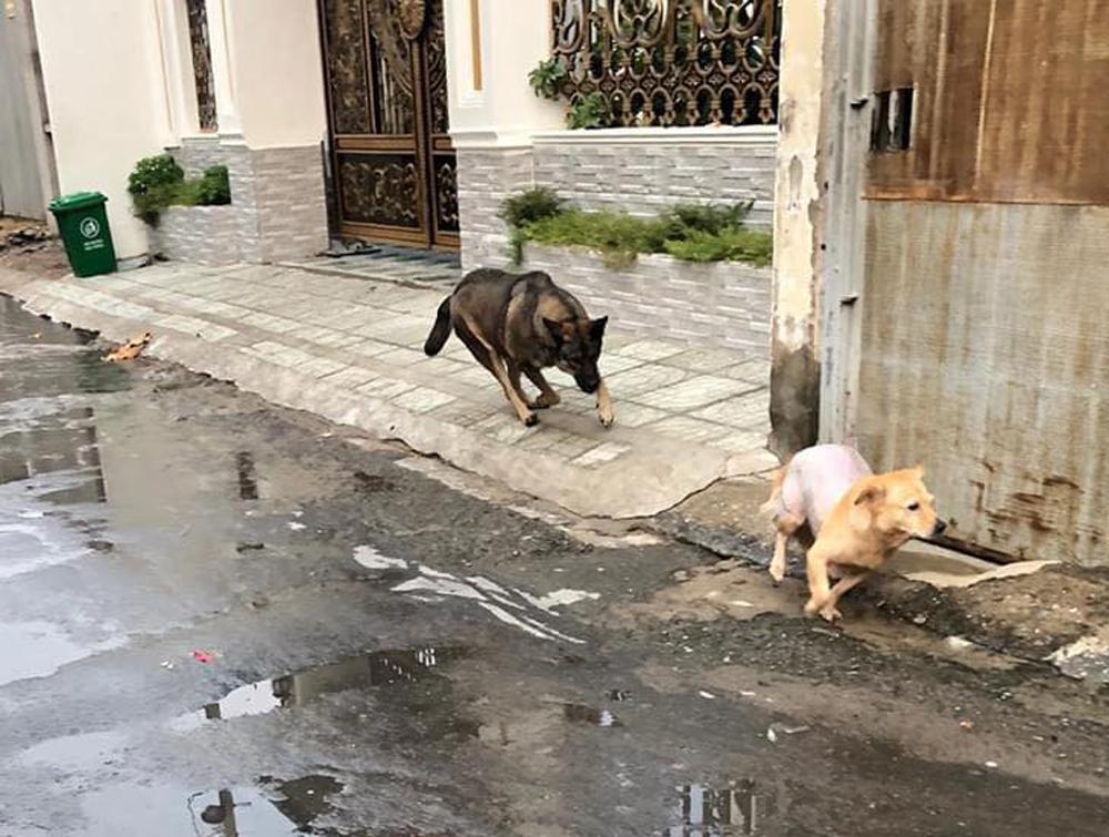 Chủ khổ sở vì chó cưng hổ báo bị đuổi chạy trối chết - 4