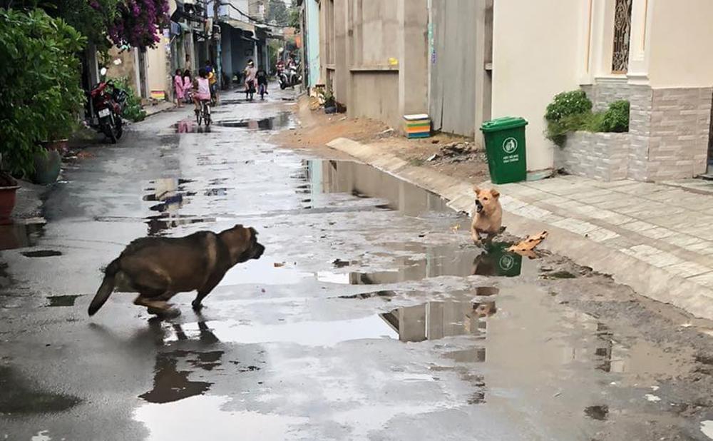 Chủ khổ sở vì chó cưng hổ báo bị đuổi chạy trối chết - 2