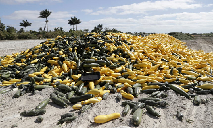 Bí ngòi chín đổ đi trên cánh đồng ở Homestead, bang Florida hồi đầu tháng 4. Ảnh: AP