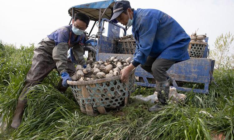 Jiang Yuewu (phải), chuẩn bị gieo lại số củ sen đã thu hoạch nhưng không bán được, hôm 6/4. Ảnh: AP.