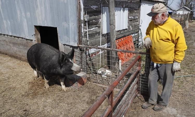 Chris Petersen, chủ một trang trại lợn ở Iowa, Mỹ. Ảnh: AP.