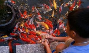 Những hồ cá Koi tiền tỷ của các doanh nhân Việt