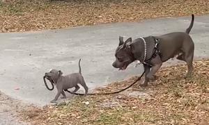 Cún con dắt bác ra đường đi dạo