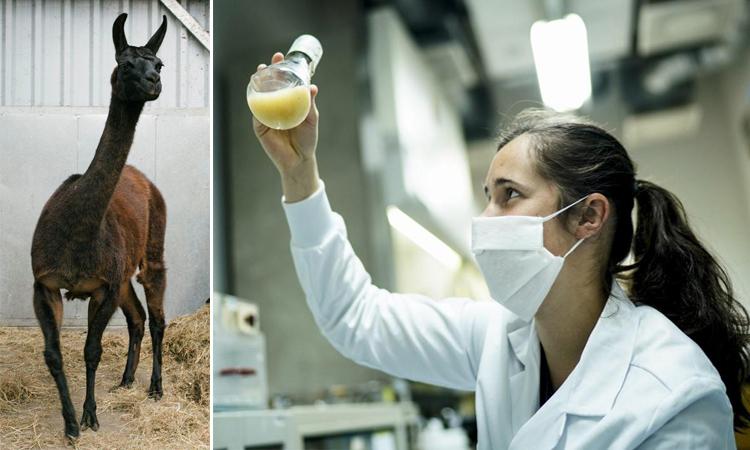 Lạc đà không biếu cho thấy khả năng miễn dịch với protein của SARS-CoV-2. Ảnh: AFP.