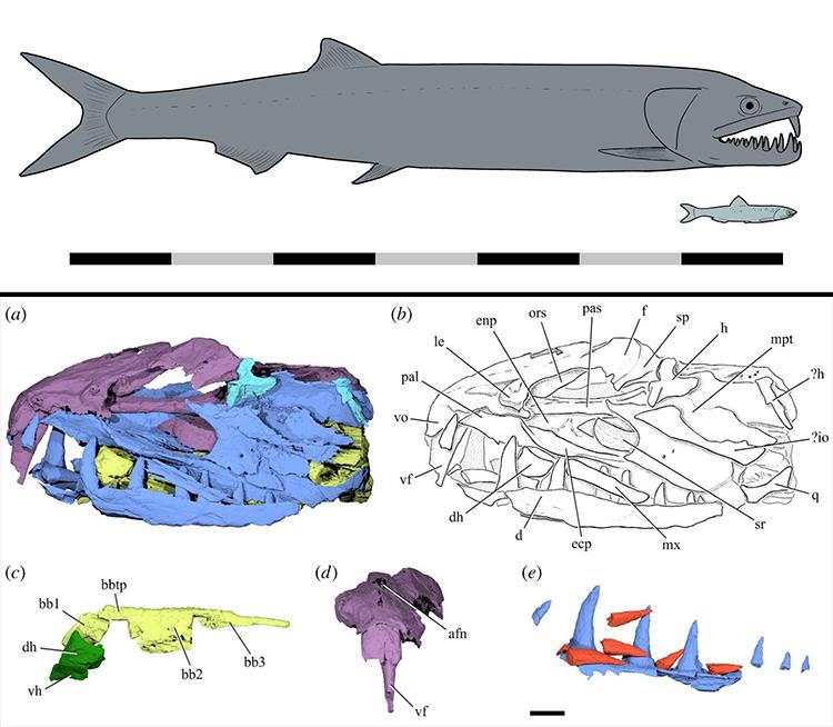 Cấu trúc răng và xương đầu củaM. chureloides. Ảnh: Novataxa.