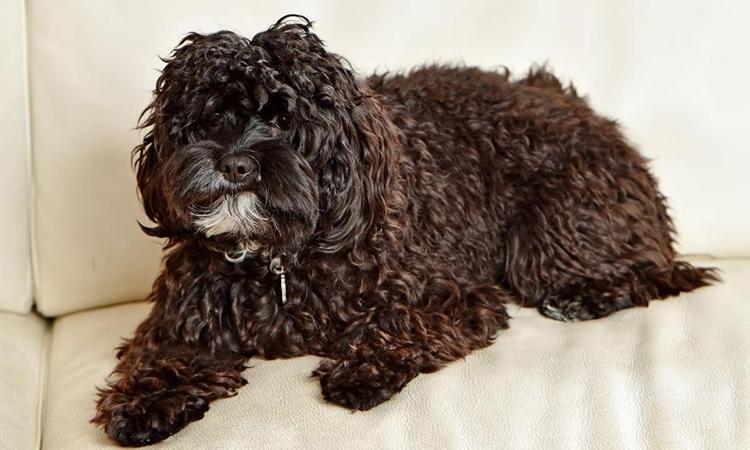 Một chú chó giống Cavoodle thường được bọn lừa đảo trực tuyến dùng làm mồi nhử người mua chó. Ảnh minh họa:AAO.