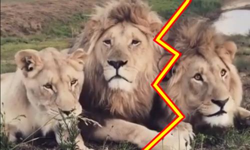 Sư tử ôm chầm lấy ân nhân sau hai năm xa cách - 2