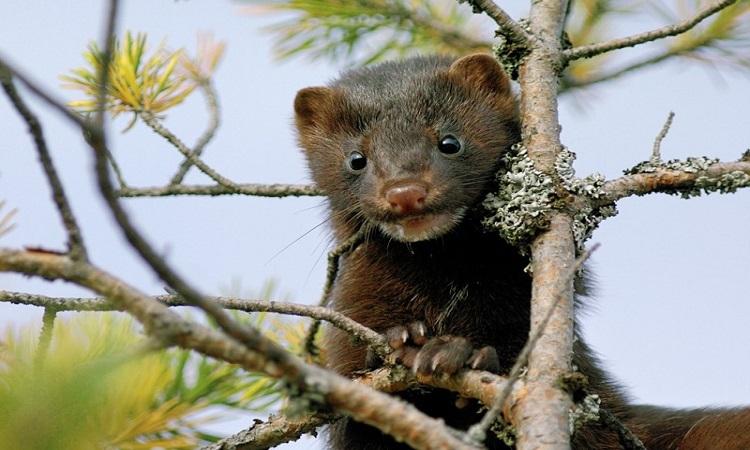 Chồn nâu cũng nằm trong danh sách động vật tình nghi truyền nCoV. Ảnh: Nature.