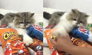 Mèo đánh trả chủ khi bị giành thức ăn