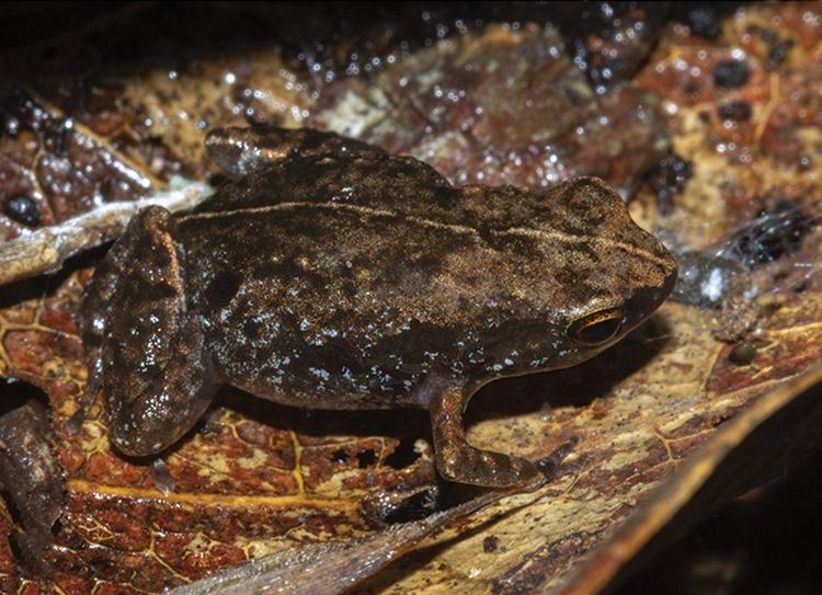 Một con ếchStumpffia troschaueri được tìm thấy ở Madagascar. Ảnh: ZooKeys.
