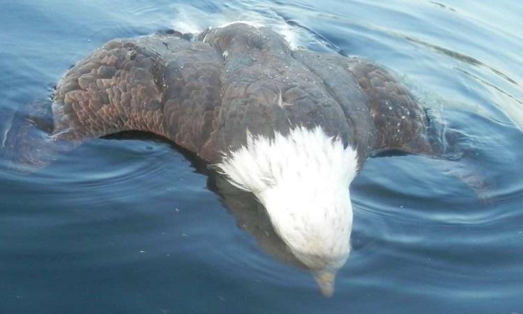 Xác đại bàng đầu trắng nằm úp sấp trên mặt hồ. Ảnh: IFL Science.