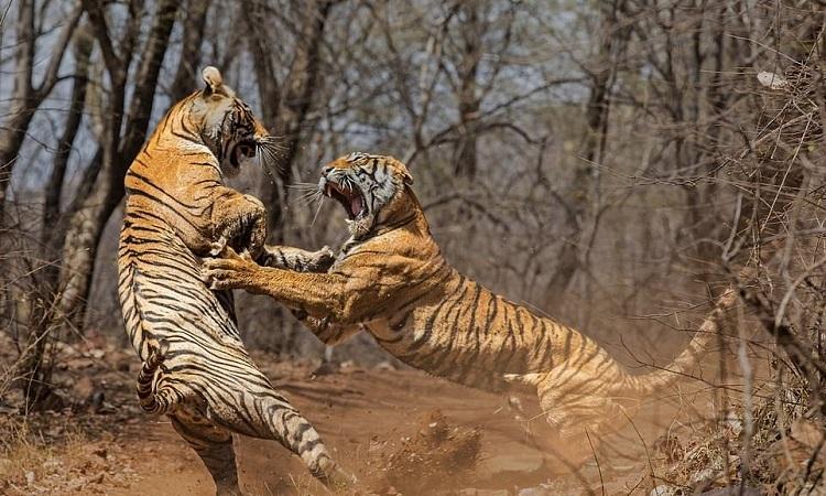 Hổ cái chưa trưởng thành chủ động tấn công mẹ ruột. Ảnh: Caters.