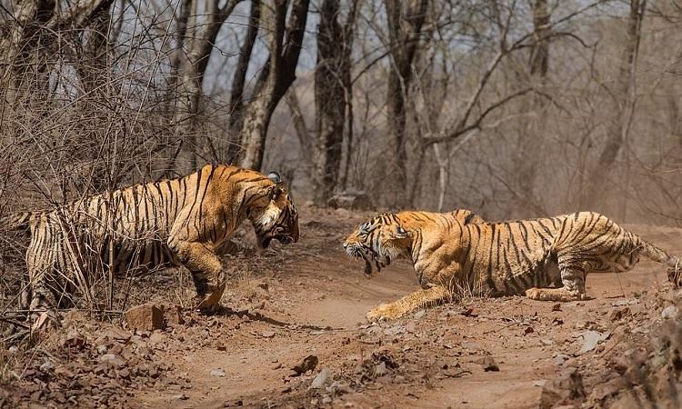 Cuộc chiến giữa hai con hổ kéo dài gần một phút. Ảnh: Caters.