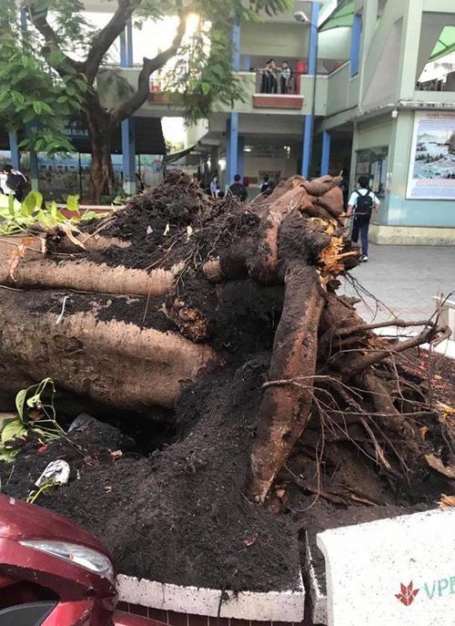 Cây phượng cổ thụ cao hơn 10 mét, khá to nhưng có rễ nông. Ảnh:Trường THCS Bạch Đằng.