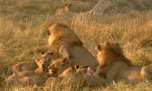 Sư tử đánh đuổi kẻ đến ăn chực