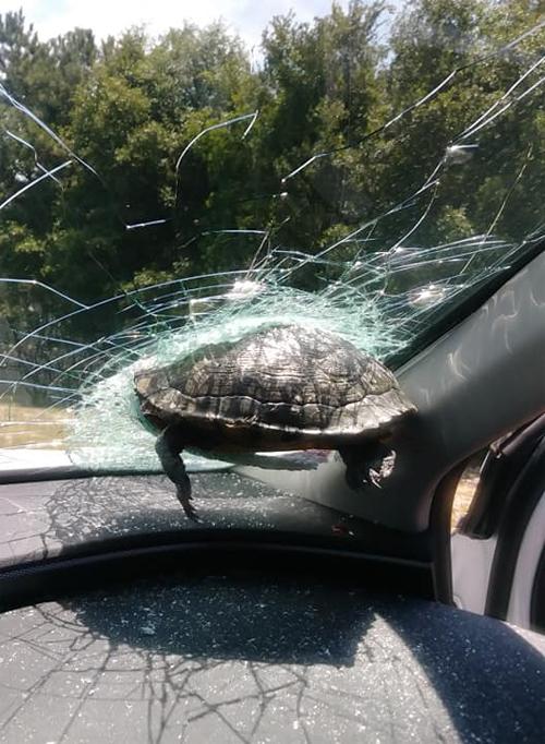 Con rùa mắc kẹt ở kính chắn gió sau cú đâm ở tốc độ cao. Ảnh:Latonya Lark
