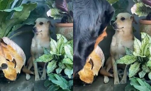 Chó nhà dắt bò đến bãi cỏ - 2
