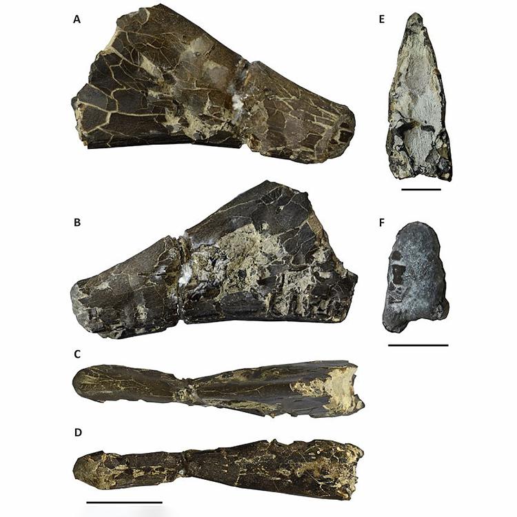 Mảnh xương hàm hóa thạch củaW. decivirostris với các góc chụp khác nhau. Ảnh:Đại học Portsmouth.