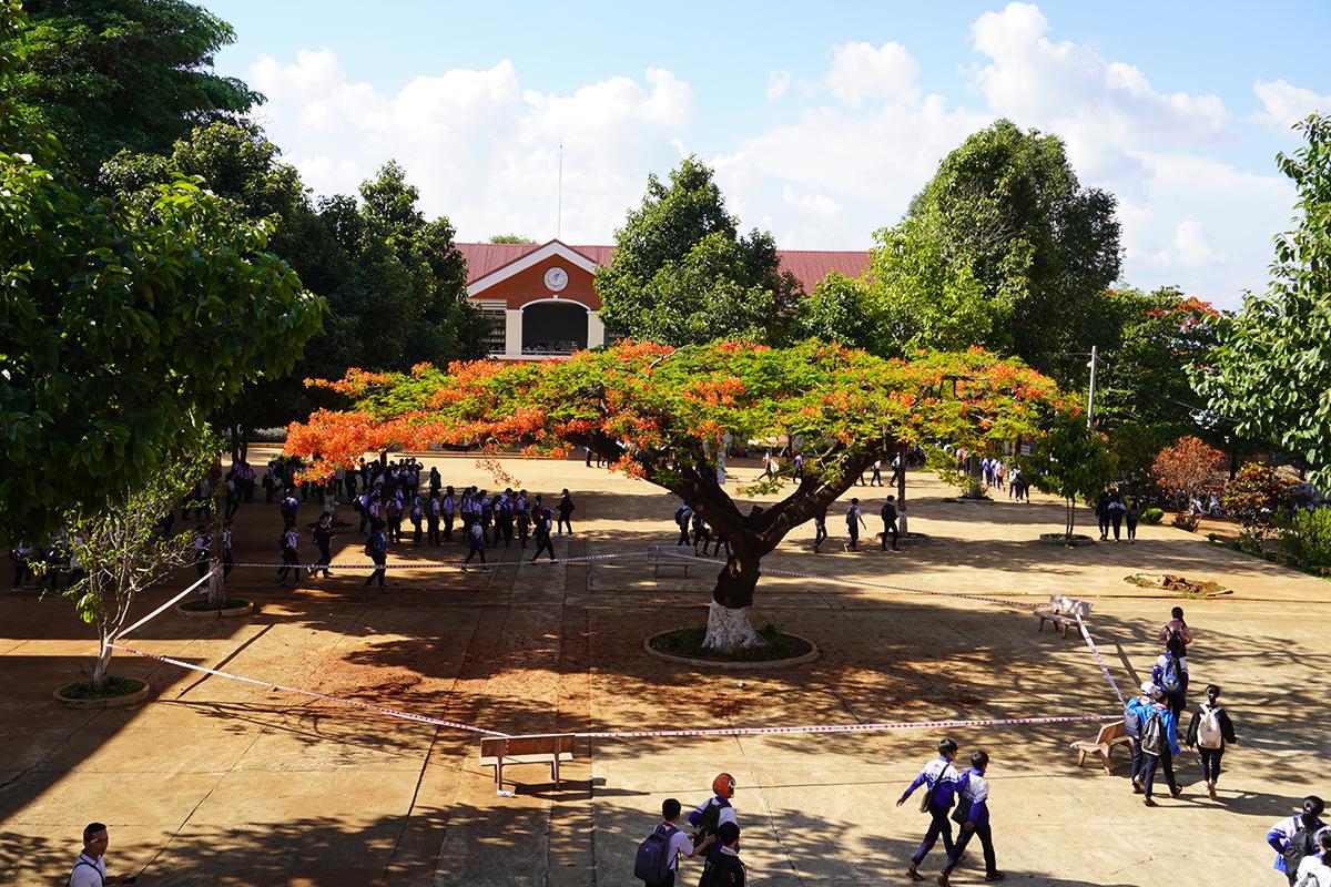 Lãnh đạo nhà trường đang làm tờ trình chặt hai cây phượng cổ thủ trong sân trường. Ảnh: Trần Hóa.